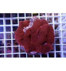 Discosoma ferrugatus (red)