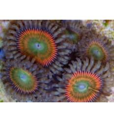 zoanthus rainbow 2P