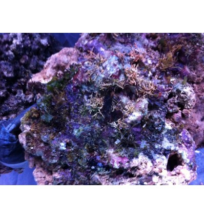 roca viva indonesia