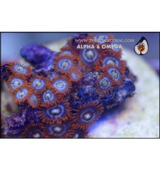zoanthus alpha & omega 5P