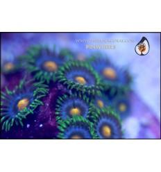 zoanthus pinwheels