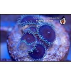 zoanthus purple death 5P