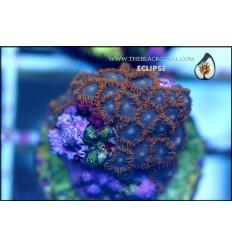 zoanthus ECLIPSE 5P