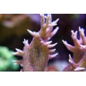 seriatopora hystrix rosa polipo morado